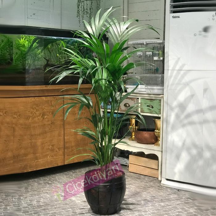 kentya-bitkisinin-bakimi