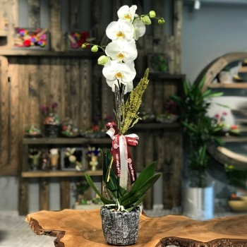 Beyaz Orkide Anlamı ve Beyaz Orkide Bakımı