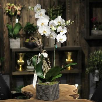 Çift Dal Orkide Fiyatları