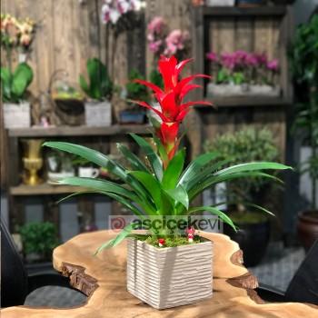 Guzmanya Çiçeği Bakımı