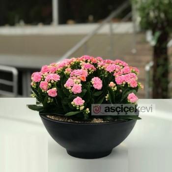 Kalanchoe Çiçek Bakımı