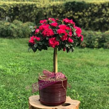 Baston Açelya Çiçeği Nişana Götürülür mü?