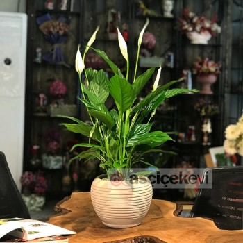 Spatifilyum Çiçeği Anlamı ve Sembolizmi
