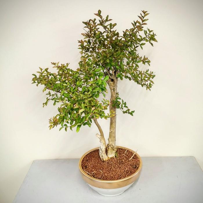 Oya Ağacı Bonsai alt