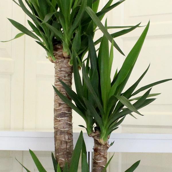 3 Köklü Yucca Bitkisi alt
