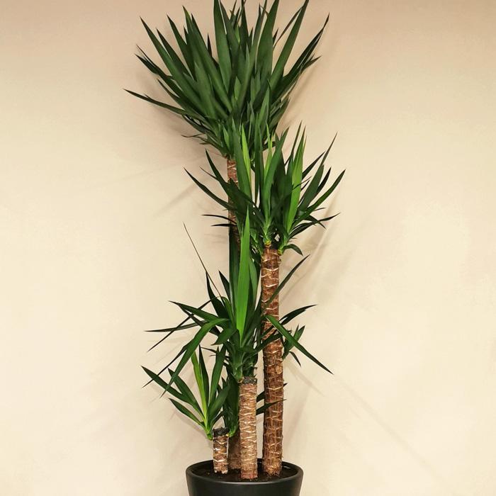 4 Köklü Yucca Bitkisi alt