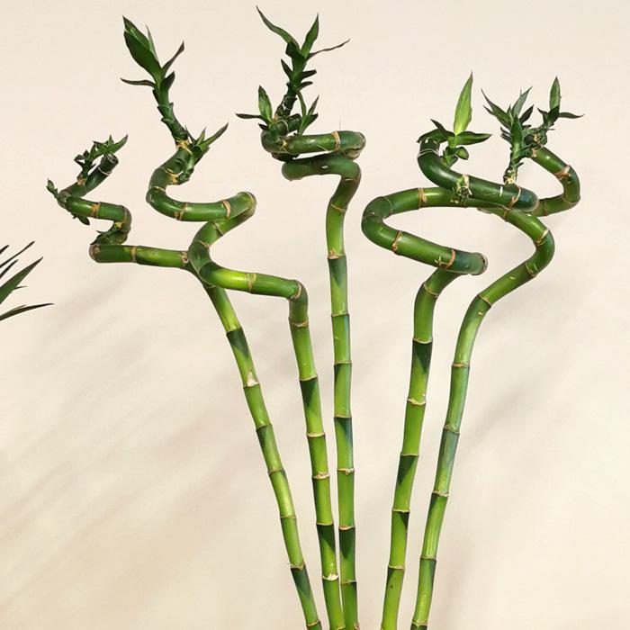 5 Şans Bambusu alt