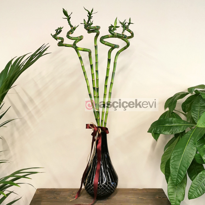 5 Şans Bambusu