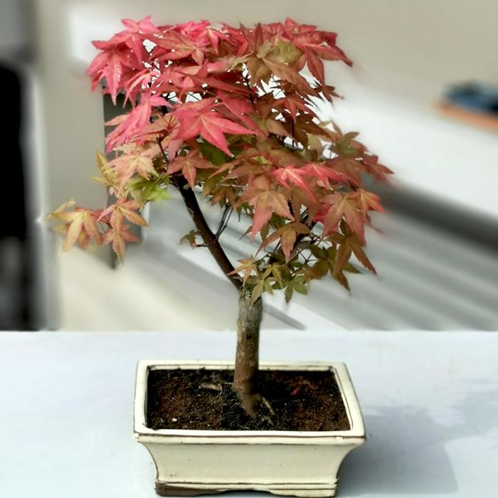 Acer Palmatum Katsura alt