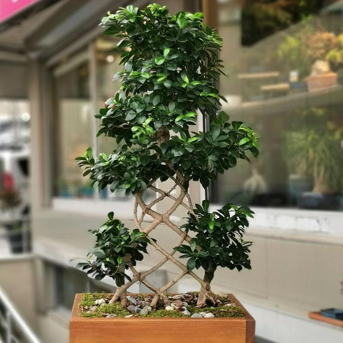 Kafes Örgü Ginseng Bonsai alt