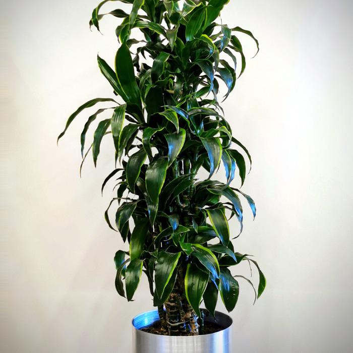 Dracaena Dorado alt