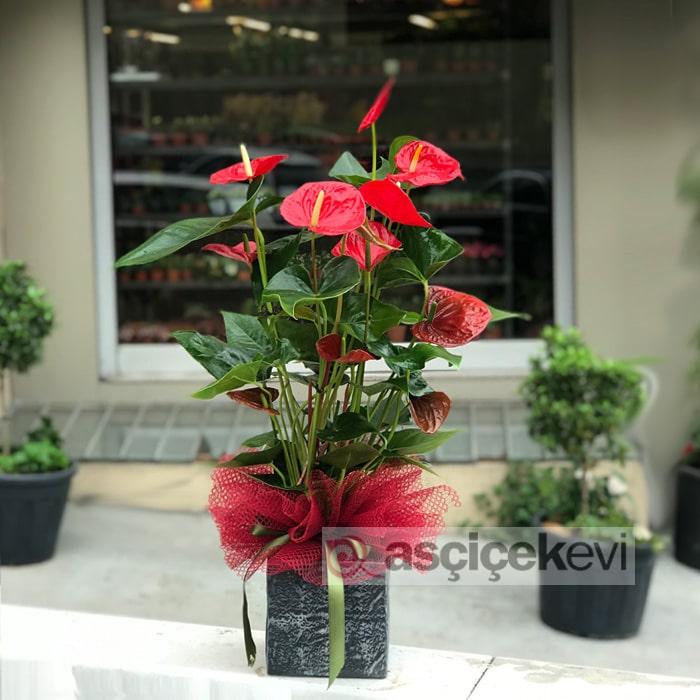 Kırmızı Antorium Bitkisi