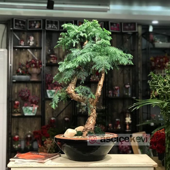 Araucaria Bonsai (Çam Bonsai)