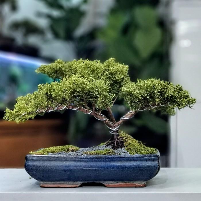 Altın Ardıç - Juniperus Bonsai