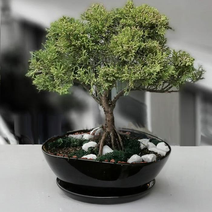 Juniperus Chinensis Aurea alt