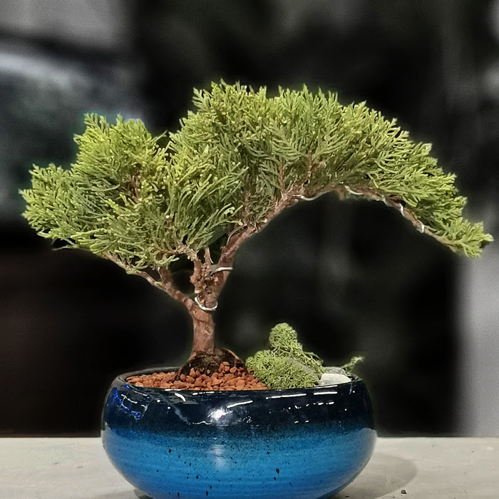 Juniperus Nana Bonsai