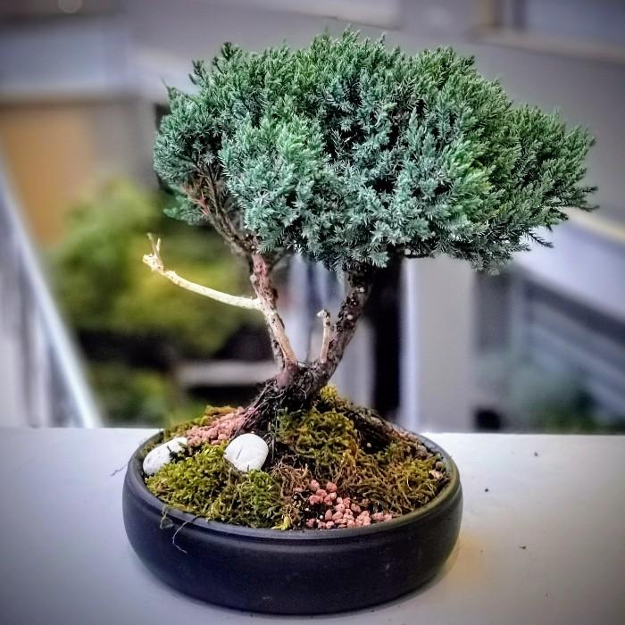 Juniperus Squmata Blue Bonsai alt