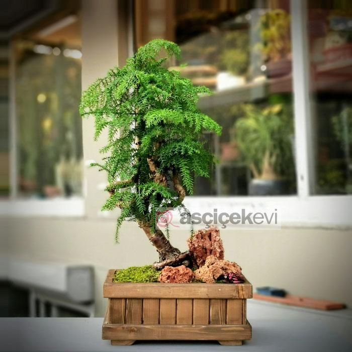 Araucaria Bonsai (Çam Bonsai)