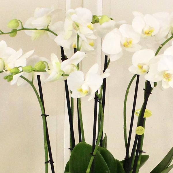 6 Dallı Beyaz Orkide alt