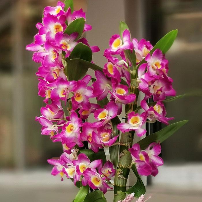 Dendrobium - Bambu Orkide alt