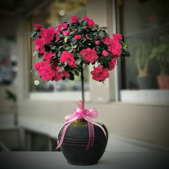 Baston Açelya Çiçeği