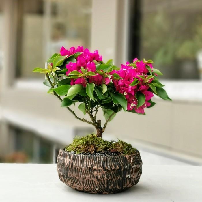 Begonvil Bonsai - Begonvil Glabra