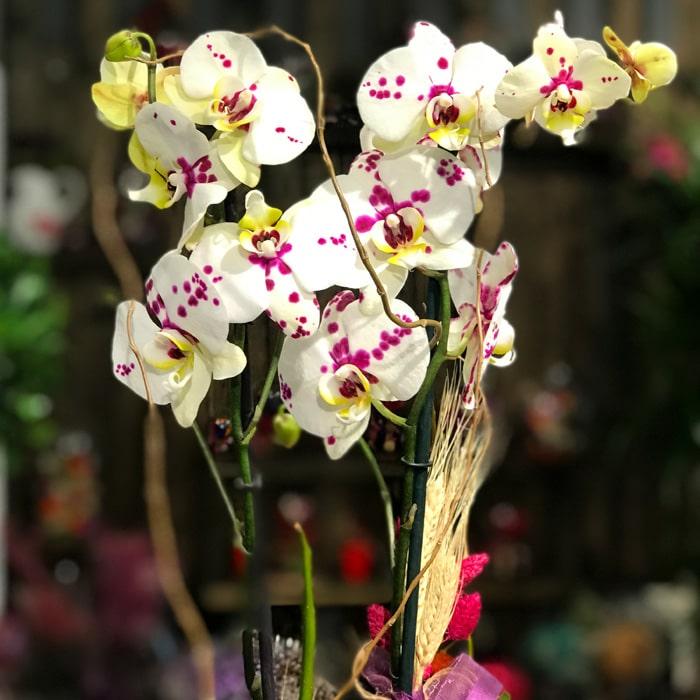 Benekli Orkide alt
