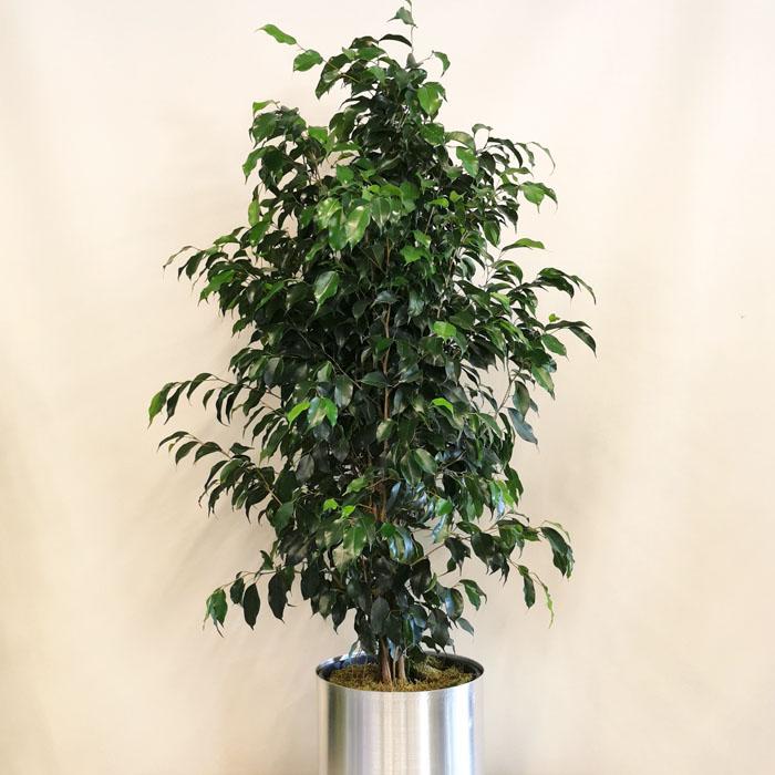 Ficus Benjamin alt