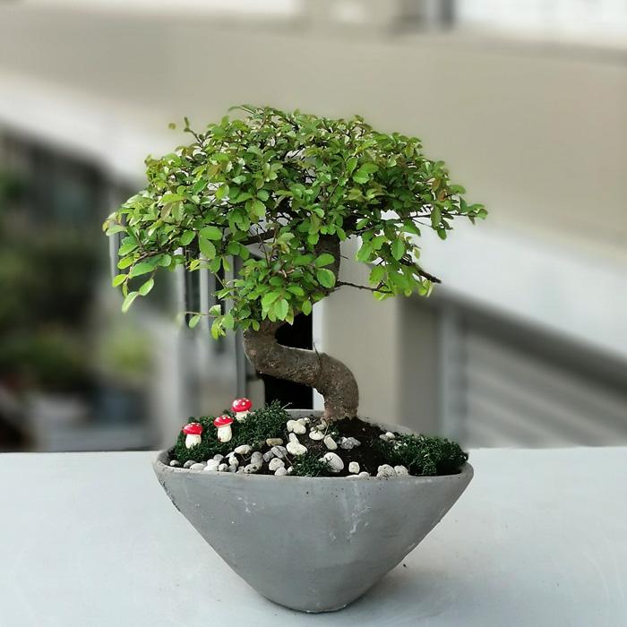 Küçük Zelkova Bonsai alt