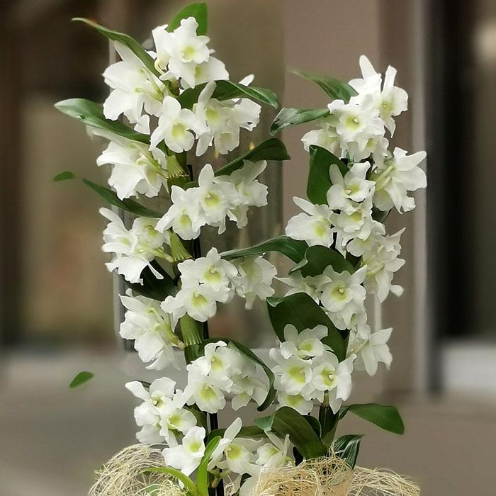 Bambu Orkide - Dendrobium alt