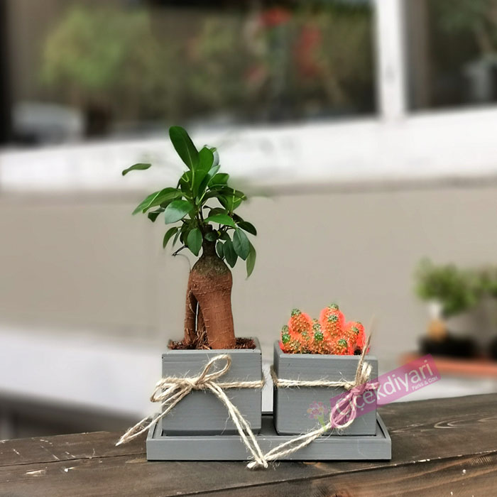 Mini Bonsai Ve Kaktüs