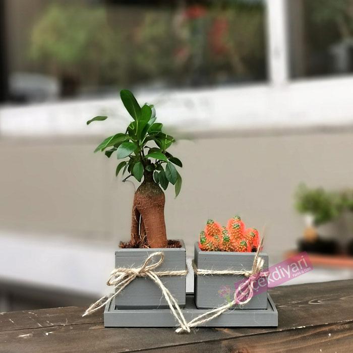 Mini Bonsai Ve Kaktüs