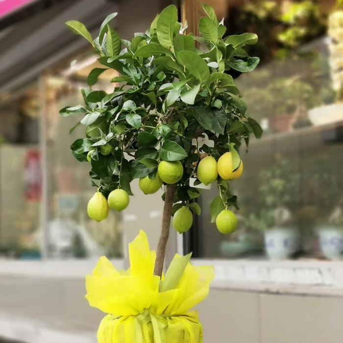 Limon Ağacı alt