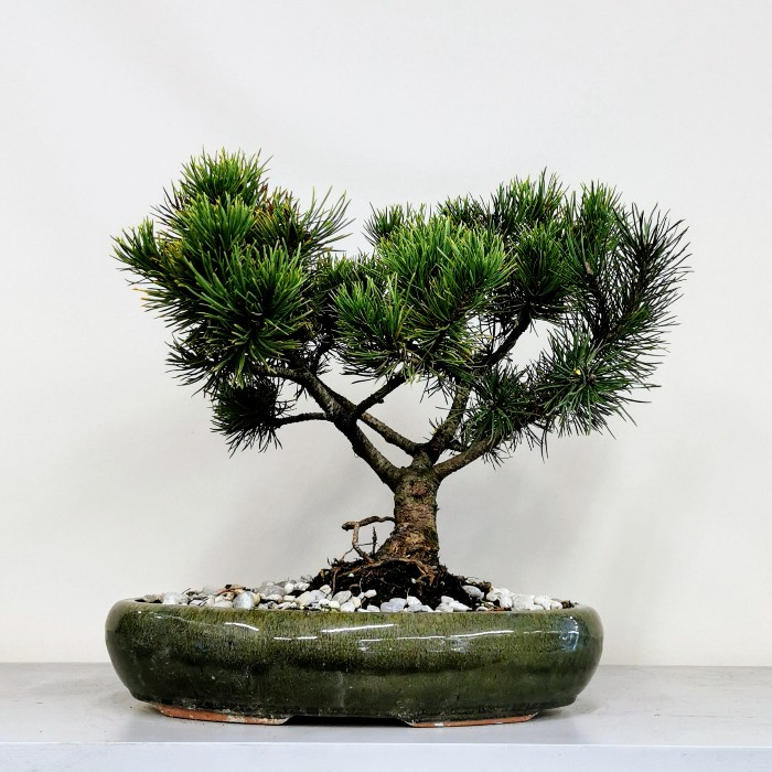 Pinus Mugo Wintergold Bonsai