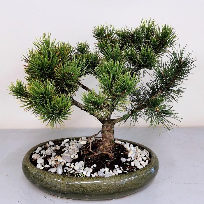 Pinus Mugo Wintergold Bonsai alt