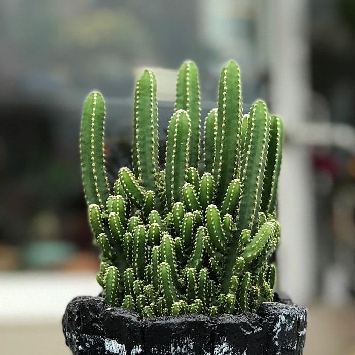 Cereus Florida Kaktüs alt