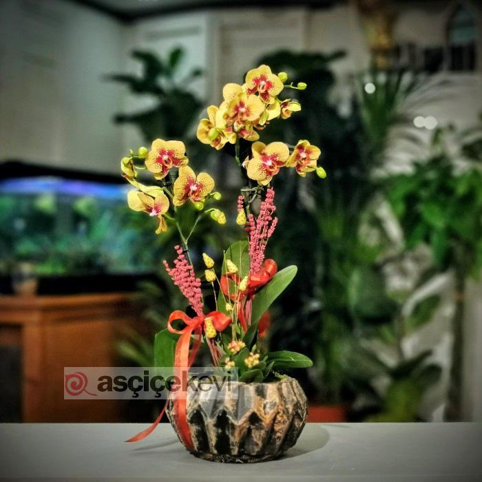 Charmer Orkide