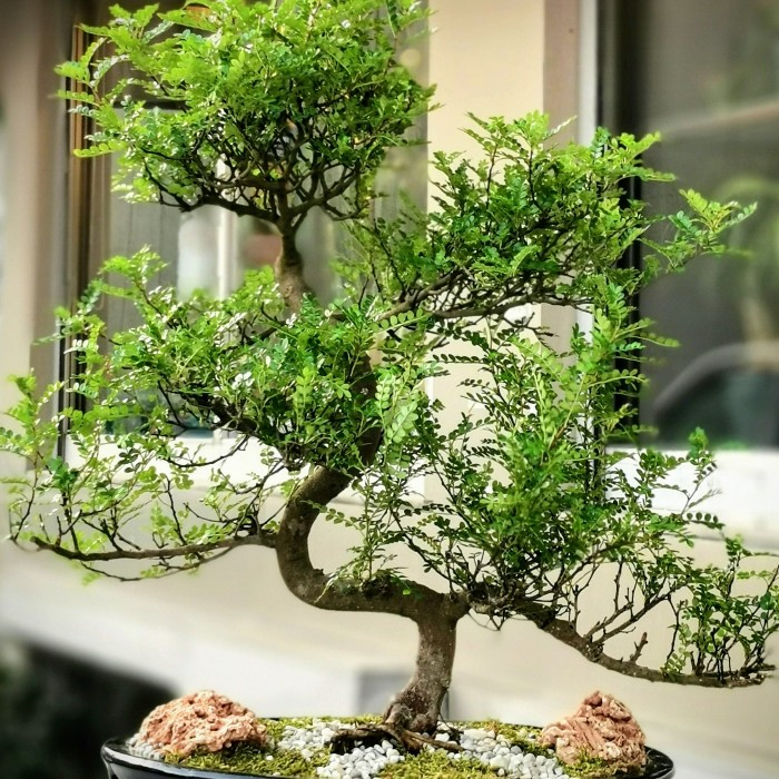 Piperutum Bonsai alt