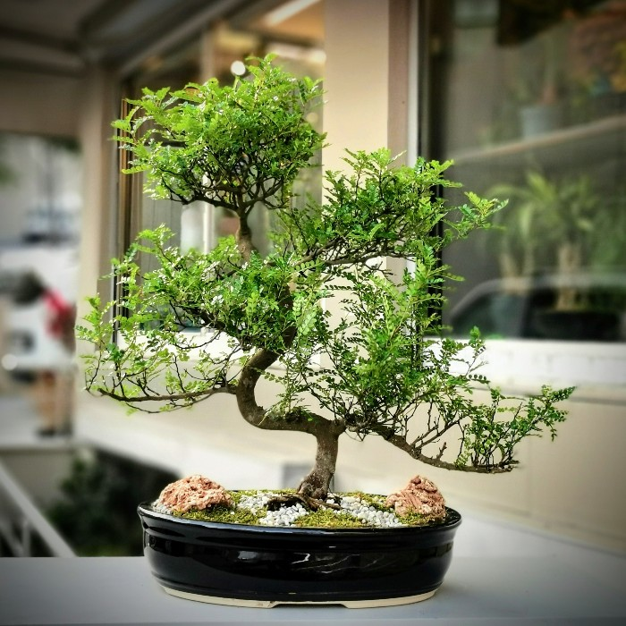 Piperutum Bonsai