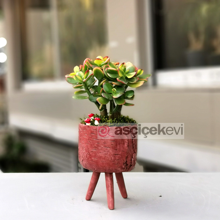 Crassula Hobbit