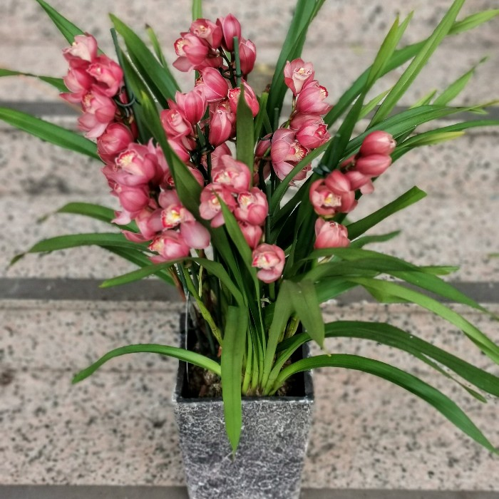 Cymbidium Orkide alt