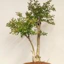 Oya Ağacı Bonsai
