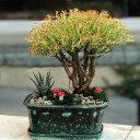 Crassula Sarcocaulis Bonsai