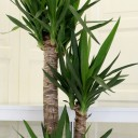 3 Köklü Yucca Bitkisi