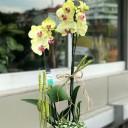 Miraflore - Sarı Orkide
