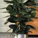 Kauçuk Bitkisi - Ficus Elestica
