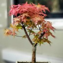Acer Palmatum Katsura