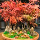 Kırmızı Akçaağaç Orman