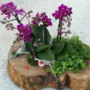 Mini Orkide ve Sukkulentler