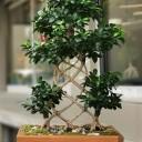 Kafes Örgü Ginseng Bonsai
